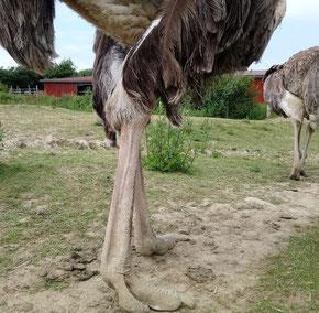 Stärkste Waffe der Laufvögel sind ihre Beine.