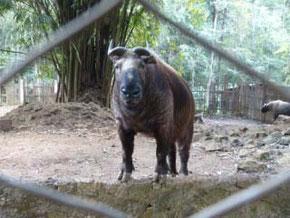 Takin (Budorcas taxicolor) - selten in Zoos zu finden.