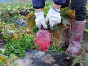 ミモレ農園 農薬不使用 紅くるり大根