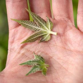 Cannabis Zuckerblätter