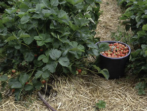 Erdbeerenernte