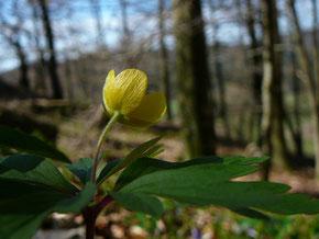 Gelbes Buschwindröschen (Bildautor: Rita Wilhelmi)