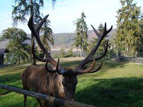 Rotwild zur Hochzeit im WildtierPark Edersee. Bild: Nationalparkamt Kellerwald-Edersee.