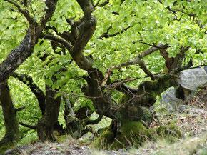 Hagensteinbuchen in uriger Form Foto: Nationalparkamt Kellerwald-Edersee