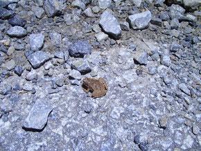 日本最小のヒメアマガエル