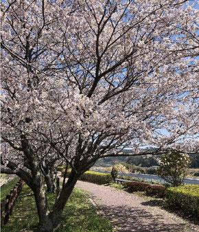 宇部市厚東川の桜