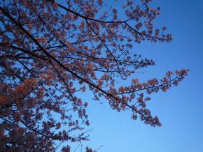 夜桜。きれい