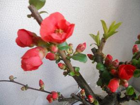 私の可愛い木瓜ちゃん。季節より少し早めに咲き始めました。