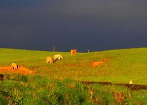 die Kühe suchten instinktiv das Weite