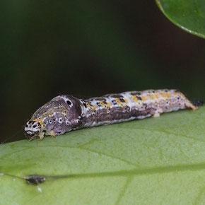 モチノキにいたマエキオエダシャク幼虫和田さん撮影
