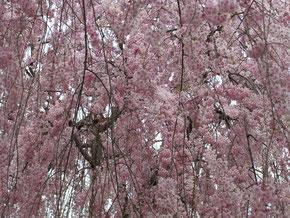 境内では幾種類もの枝垂桜が咲き誇ります