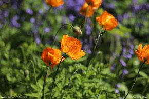 Zarahzetas Frühlingsblog mit lila Krokus