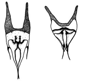 Figure 9 : Appareil génital de Caddoense Eosentomon, mâle à gauche, femelle à droite