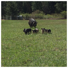 Idaho Pasture Pigs and Registered Berkshire Hogs