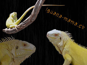 iguana-mama.ch