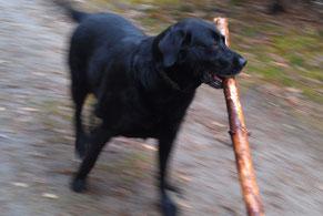 Lilly mit Brennholz im Maul