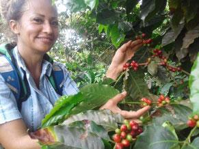 Die Kaffeeernte von nachhaltigem und natürlichem Kaffee ist harte Handarbeit.  Bohne für Bohne wird schonend geerntet.