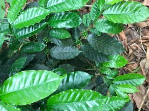 Eine Kaffeejungpflanze. in gesundem naturbelassenem Boden.