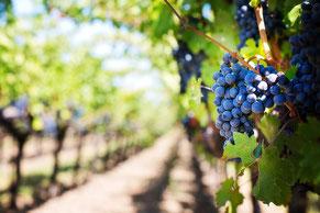 Weinprobe in den Weinbergen (R)