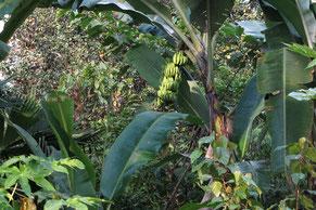 Bananenstaude im Waldgarten