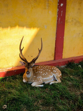 Stadt-Hirsch Deer in Trincomalee, Sri Lanka