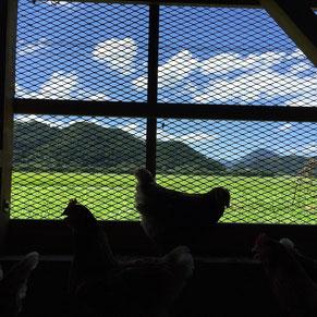 鶏舎の中からみる景色。今日は天気が良いです。