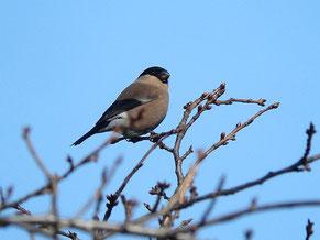 ・2013.3.5 柏の葉公園 亜種ウソ♀ ・亜種アカウソは、尾羽の白い軸半が広く、良く目立つが、本個体には、それが見られない。