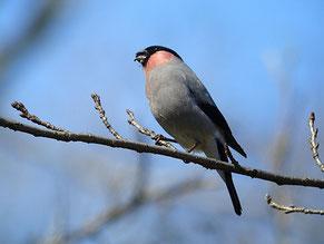 2007年2月24日 秋ケ瀬公園  林のところどころで、ウソの鳴き声がしていた。声のする方に歩いていくと、簡単に見つけることができた。