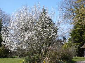 Le magnolia stellata