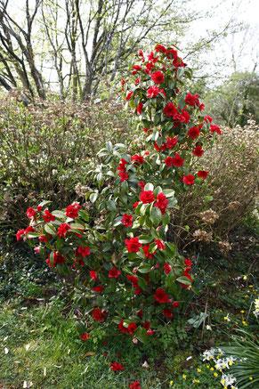 Camellia Cherry's Jubilee