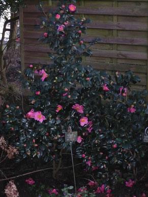 """Camellia """"St Ewe"""""""