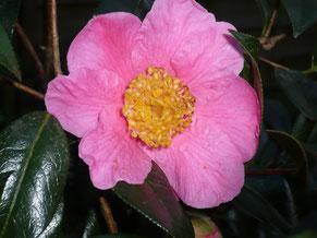 Fleur de St Ewe