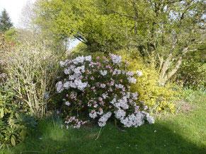 """Rhododendron """"Gartenbaudirektor Rieger"""