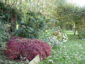 """Acer palmatum dissectum """"Rubrum"""""""