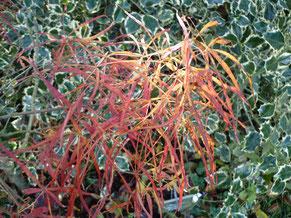 """Acer palmatum """"Red Pigmy"""""""