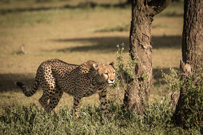 Cheetah, Tansania, Safari