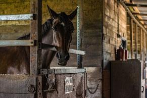 cheval-écuries-équitation-attelage-lavaur-tourène-tarn