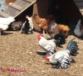 Hühner auf dem Gertrudenhof