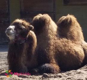 Kamel im Zoo Heidelberg
