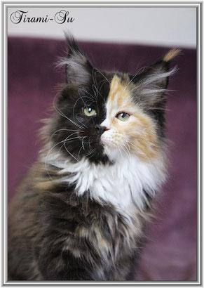 Mainecoon kitten of Dantes Peak