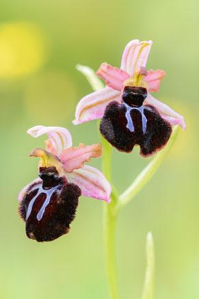 Siponto-Ragwurz (Ophrys sipontensis)