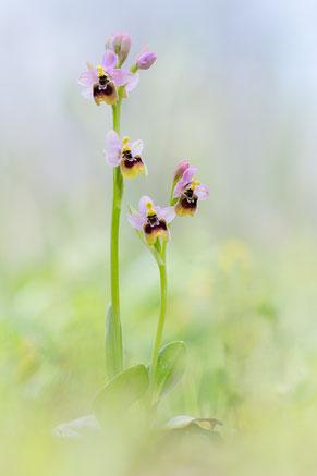 Ophrys tenthredinifera