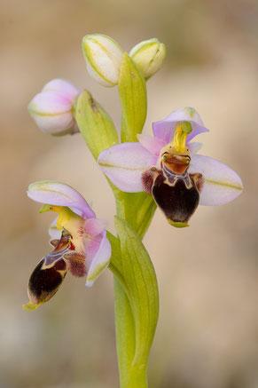Lapethos-Ragwurz (Ophrys lapethica)