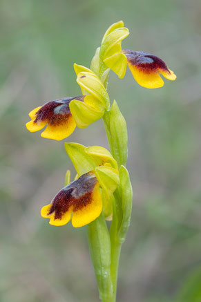 Ophrys lepida
