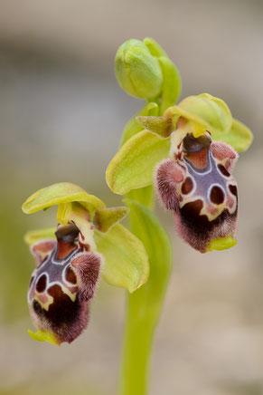 Gelbrandige Ragwurz (Ophrys flavomarginata)