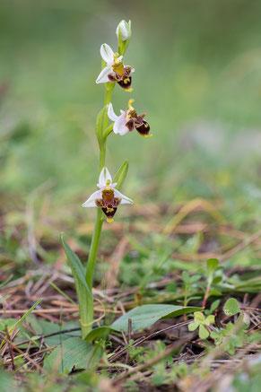 Dodekanes-Ragwurz (Ophrys dodekanensis)