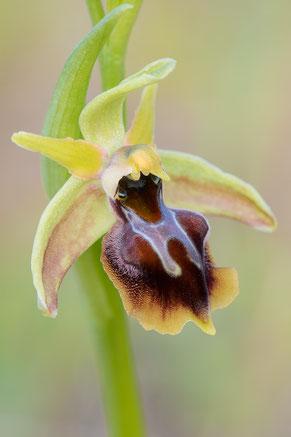 Alasia-Ragwurz (Ophrys alasiatica)