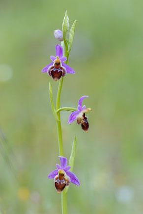 Delphi-Ragwurz (Ophrys delphinensis)