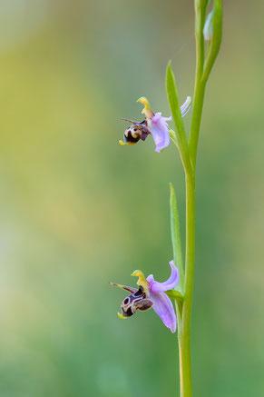 Kleine Schnepfen-Ragwurz (Ophrys oestrifera var. minuscula)