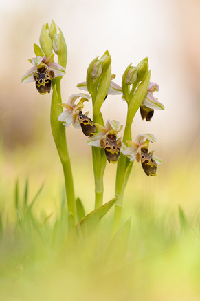 Nabel-Ragwurz (Ophrys umbilicata)